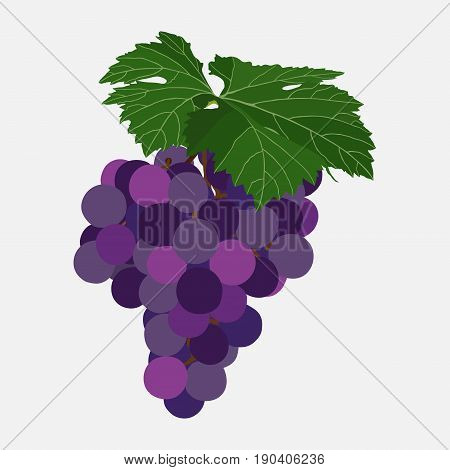 Bunch of grapes of violet color ripe berries of grapes sweets flat style vector image