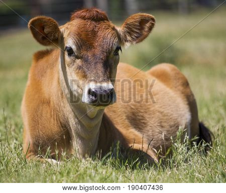 Front profile of a Jersey cow relaxing in a paddock.