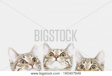 Three cute kittens are waiting to be fed (or likes). Curious cats faces looking up