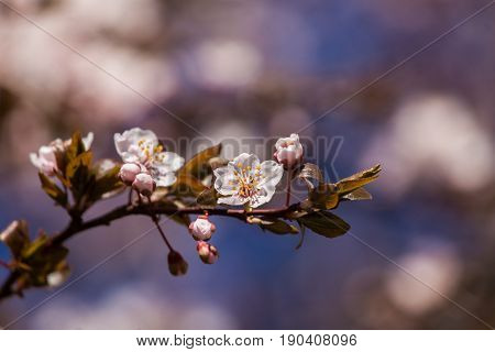 A Beautiful Blooming Plum Blossom Close-up In Spring