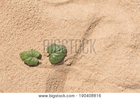 A Beautiful Minimalist Closeup Of A Sea Sand And Seaside Coltsfoot. Shallow Depth Of Field.