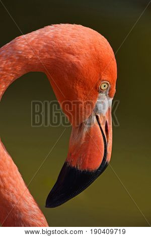Close Up Side Profile Portrait Of Pink Flamingo