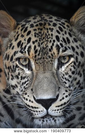 Close Up Portrait Of Amur Leopard