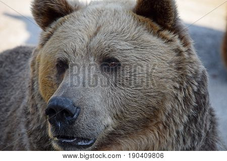 Portrait Of Brown Bear Male Close Up