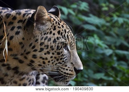 Side Portrait Of Amur Leopard In Forest