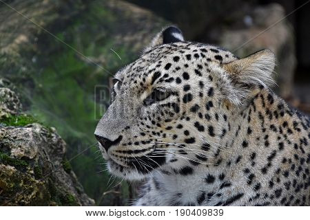 Close Up Side Portrait Of Amur Leopard Over Rocks