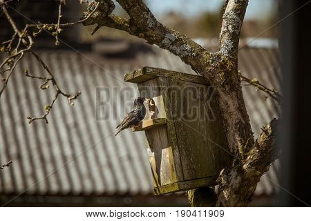 A Beautiful Black Starling With A Bird House In An Apple Tree