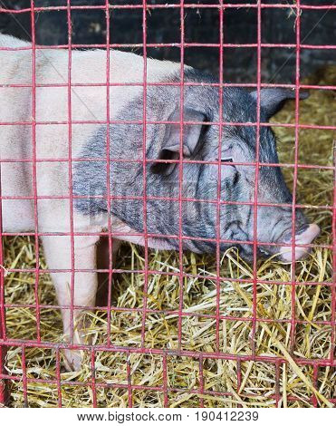 Pig behind red cage and on straw.