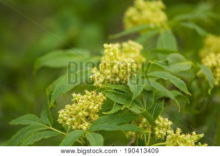 A Beautiful Closeup Of A Blooming Elderberry Branches In Spring