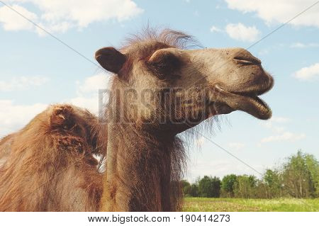 young Camel on green grass, summer time
