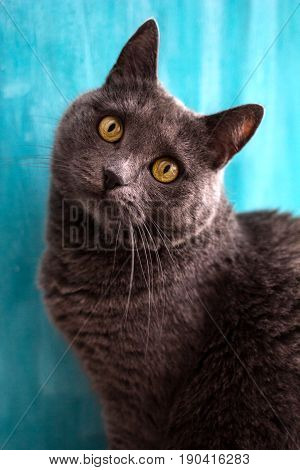 The chartreux blue cat. Portrait of domestic cat on a blue background
