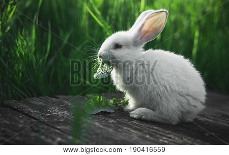Small white rabbit eating a leaf sitting on a wooden board against a background of green grass.