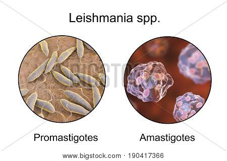 Two forms of Leishmania parasites, flagellated promastigotes found in sandfly and laboratory media, and non-flagellated amastigotes found inside macrophages. 3D illustration