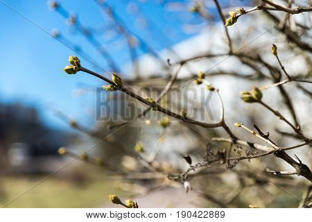 A Branch With Swollen Buds