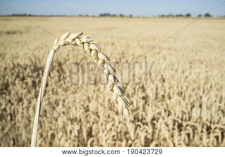 One grain ear over wheat grain field. Closeup