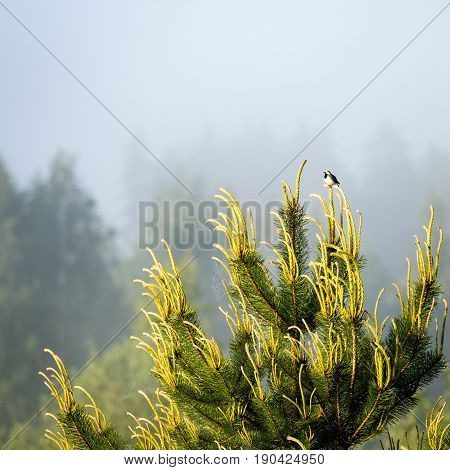 Small Wagtail Bird On A Pine Tree Branch