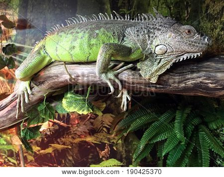 Chinese Water Dragon (Physignathus cocincinus). Lizard native to China and mainland Southeast Asia. It's known as Asian water dragon Thai water dragon and green water dragon. poster