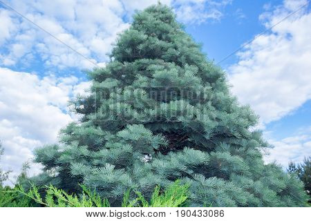 Abies concolor on a cloudy sky background