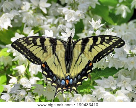 Eastern Tiger Swallowtail in High Park of Toronto Canada June 8 2017