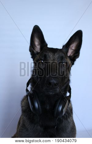 Belgian shepherd dog with an audio helmet around the blow on withe background