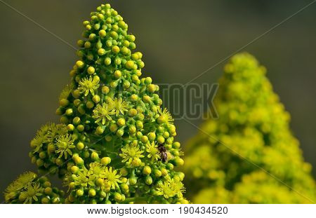 Flower head of aeonium, wild plant of Canary islands