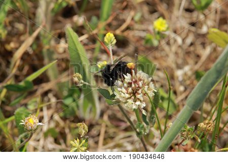 A Bumblebee that eats the nectar of the flower in nature