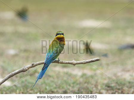 Blue-tailed Bee-eater bird stand on the sand ground