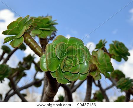 Green rosettes of aeonium with sky background