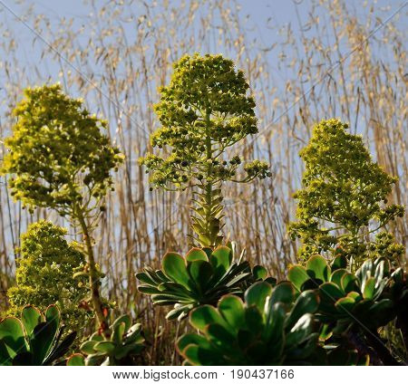 Flower heads of wild aeonium, Canary islands