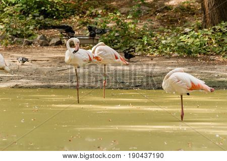 Flamingo Walks On Water