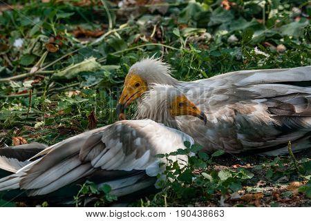 Common Vulture (neophron Percnopterus)