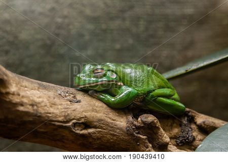 A Green Toad Sits On A  Branch