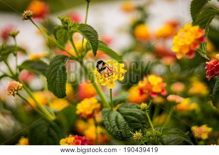 Bumblebee on yellow and red flowers obtaining nectar