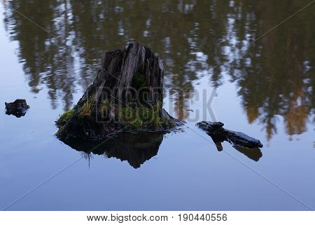 Stubble stump in the water and reflection of trees