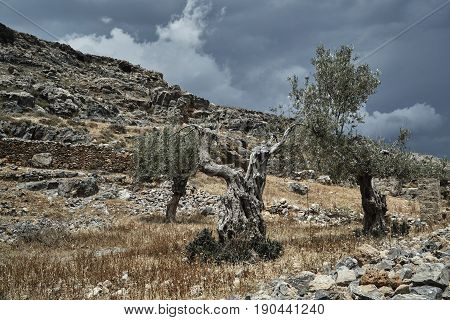 Old olive tree on a rocky hill on the island of Rhodes