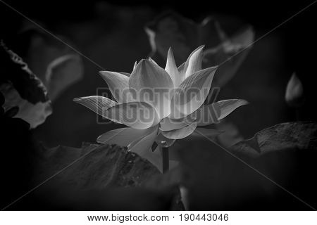 The image of the black and white lotus