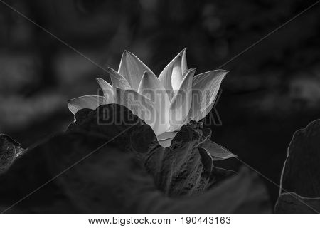 Twin Lotus Purple are blooming in garden made black and white color.