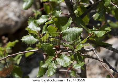 Leaves and branches of Quercus alpestris. Photo taken in Cadiz, Spain