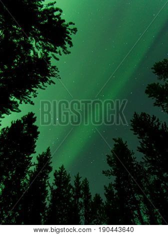 Dancing Green Northern Lights Over Pine Tree Silhouettes