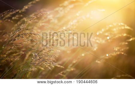 Pollen plants - blooming grass in sunny summer