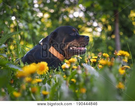 large Rottweiler dog resting in the green grass among the dandelions. Beautiful big dog on the nature
