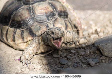 Turtle Testudo Marginata european landturtle closeup wildlife with open mouth