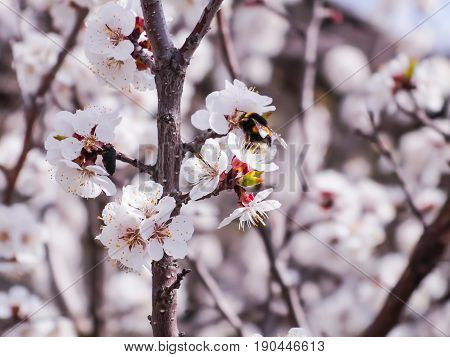 A flowering apricot tree. Bumblebee pollinating flowers. The garden in the spring