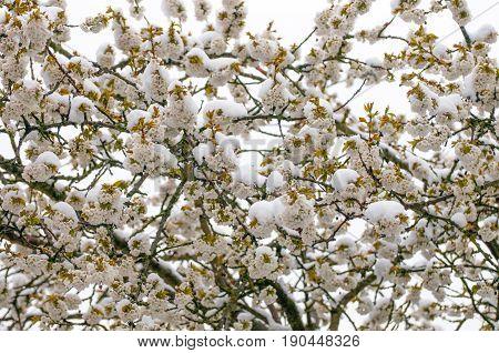The Melting Of Snow On Blooming Sakura Trees.