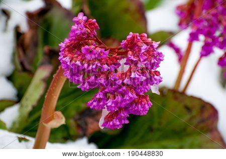Bergenia Cordifolia Bergenia Crassifolia Or Badan Blooming With Purple Flowers