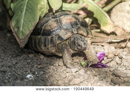 Turtle Testudo Marginata european landturtle eating a purple flower closeup wildlife