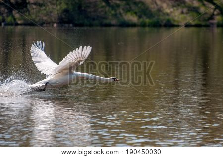 Beautiful Background With A Powerful Swan's Take Off