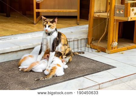 Well-groomed house cat in the collar breast-feed the little kittens on the doorstep. Pet animal in resort Greek port-city Rethymno Crete Greece