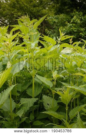 Nettles in the forest. Young nettle. Fresh greenery
