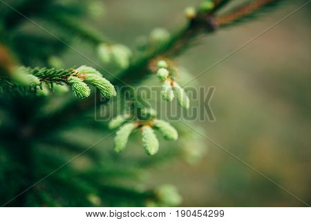 Young Fir Tree Needles With Water Drops. Horizontal Close Up Of Morning Dew On Fir Tree Branches Wit